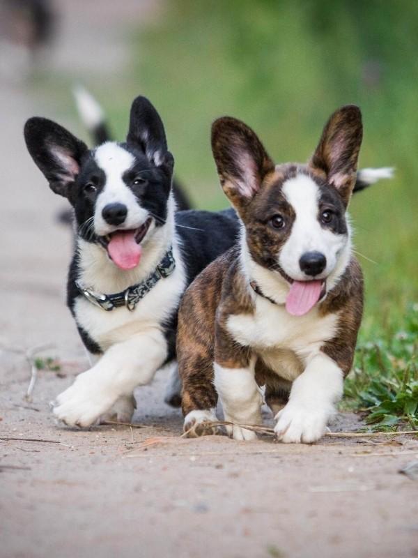 Playful Corgi Puppies
