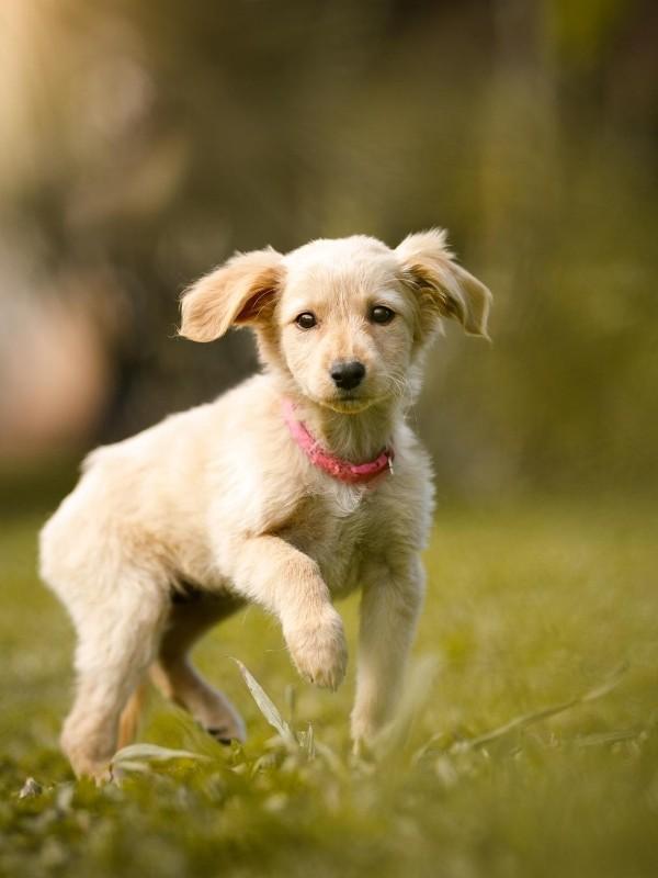 Puppy Running Across Lawn