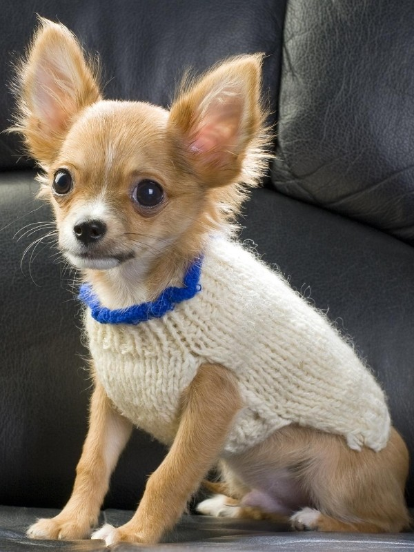 Small Puppy in Hand-knit Sweater