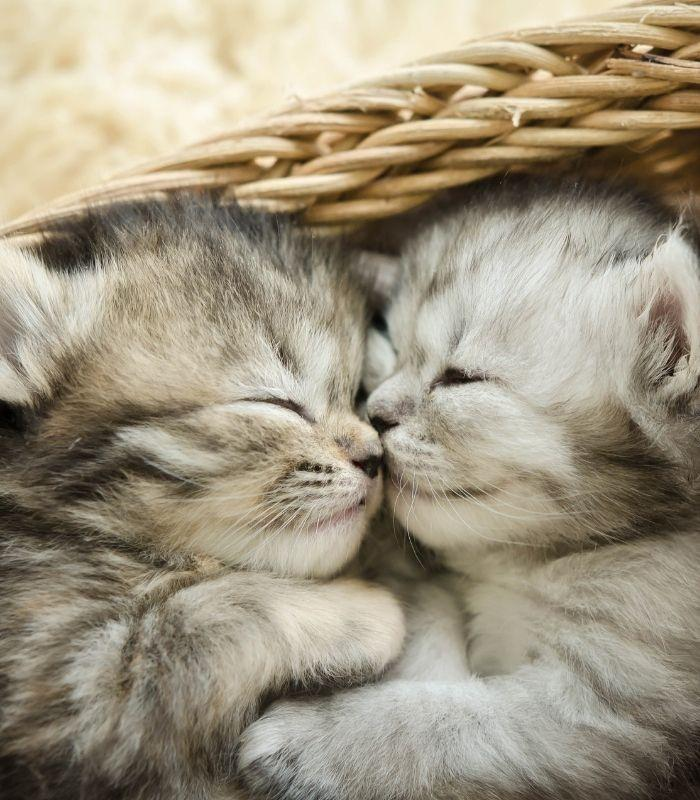 Baby Kittens Cuddling Together in Basket