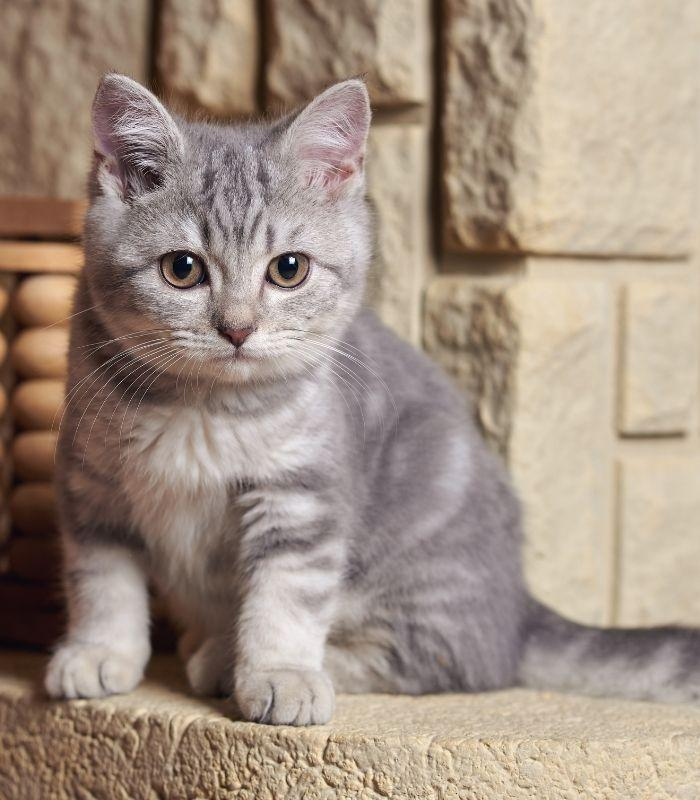 Cute Gray Kitten with Big Eyes