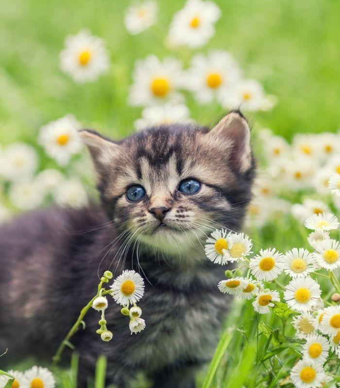 Cute Kitten With Daisies
