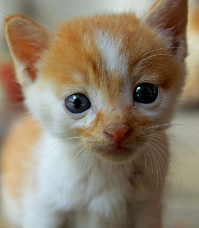 Cute Orange and White Baby Kitten