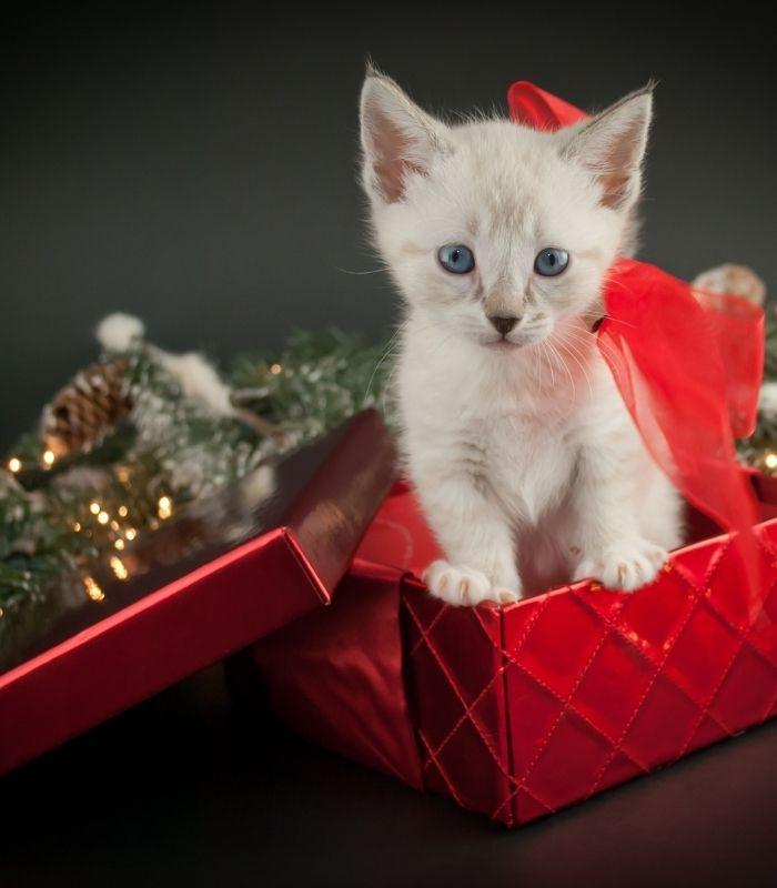 Cute White Kitten in Christmas Box