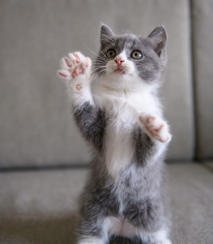 Grey and White Kitten Palying