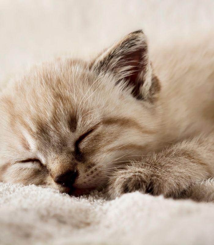 Kitten Asleep
