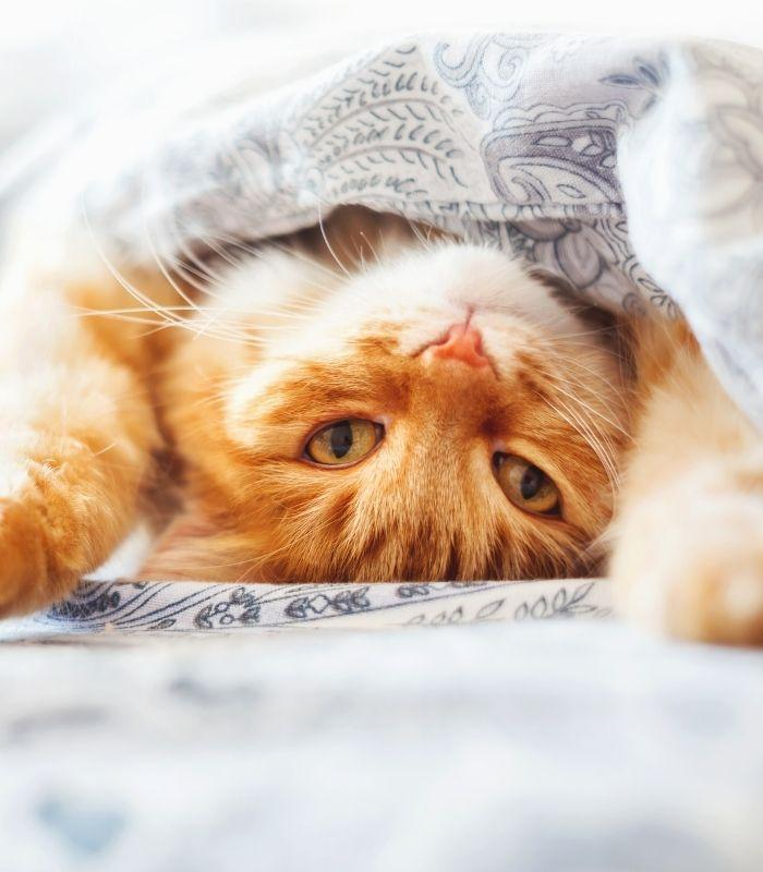 Orange Tabby Kitten Cuddling Under Blanket