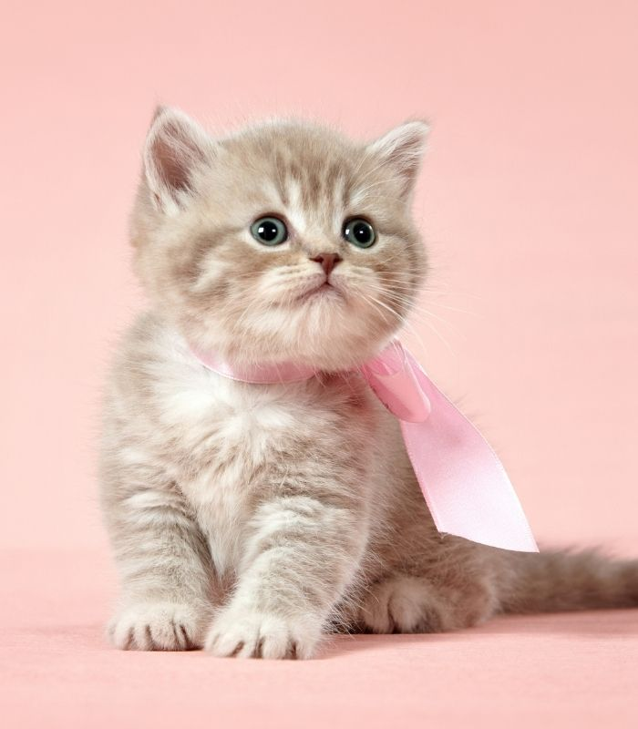 adorable kitten with pink ribbon