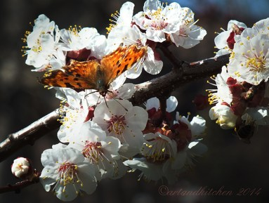 apricot blossom and butterfly 1