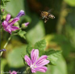 malva and bee 11