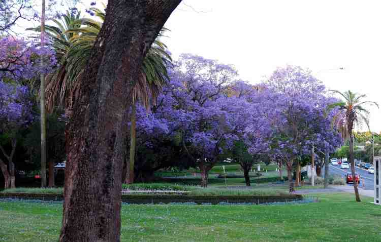 Jacarandas in Hyde Park, Perth