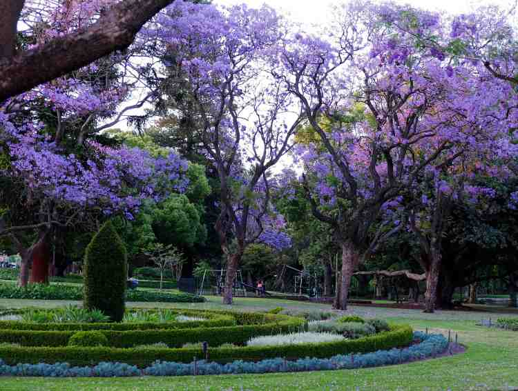 Jacaranda trees lit by setting sun