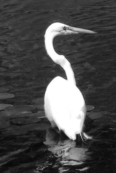 Photo of a Great Egret, a large, white, stork-like bird common in San Diego