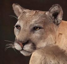 cougar-head