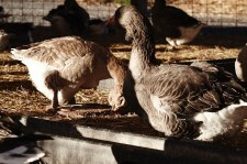 Geese at the Stone Barns Center for Food and Agriculture eating from raw clay plate showing the process by which Pecking is made.  photo by Jochem Vangrunsven