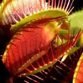 artborghi-carnivore-dionaea-muscipula-fullcrop