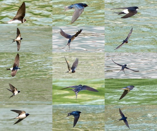 swallows-aargau-switzerland