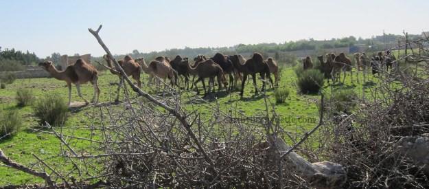 Camels!!