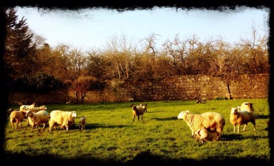 Bulmers orchard