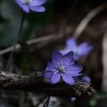 cjosefsson_artbycost_photoart_hkleden_blue_anemone_DSC_1344_ps_watermark_wp