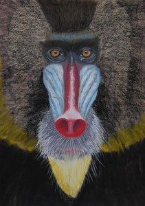 mandrill apr 2014_cropped Jim Peacher
