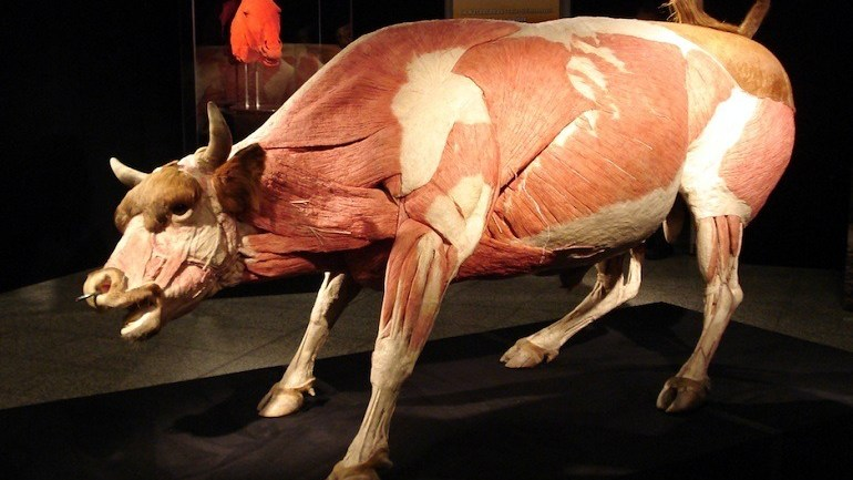 Body Worlds Gripping Look Inside Animals Reveals Human Nature