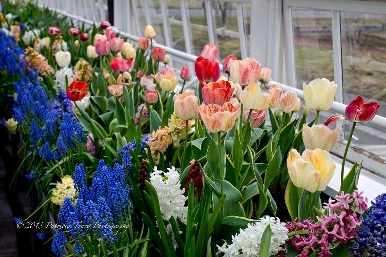 Image: Patricia Tracy's Elizabeth Park -tulips C was taken inside the Greenhouse at Elizabeth Park, Hartford, CT Spring Flower Sale