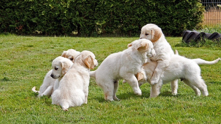 Image: These playful H-litter get their puppy lesson, a great reminder of the happiness puppies add to our lives and why we celebrate National Puppy Day #NationalPuppyDay #Dog
