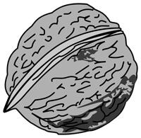 nuts - walnut