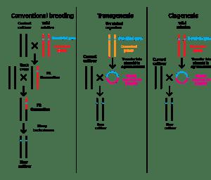 1077px-Breeding_transgenesis_cisgenesis