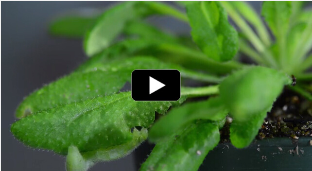 Plants listen, Caterpillar eating leaf, video frame 100px button