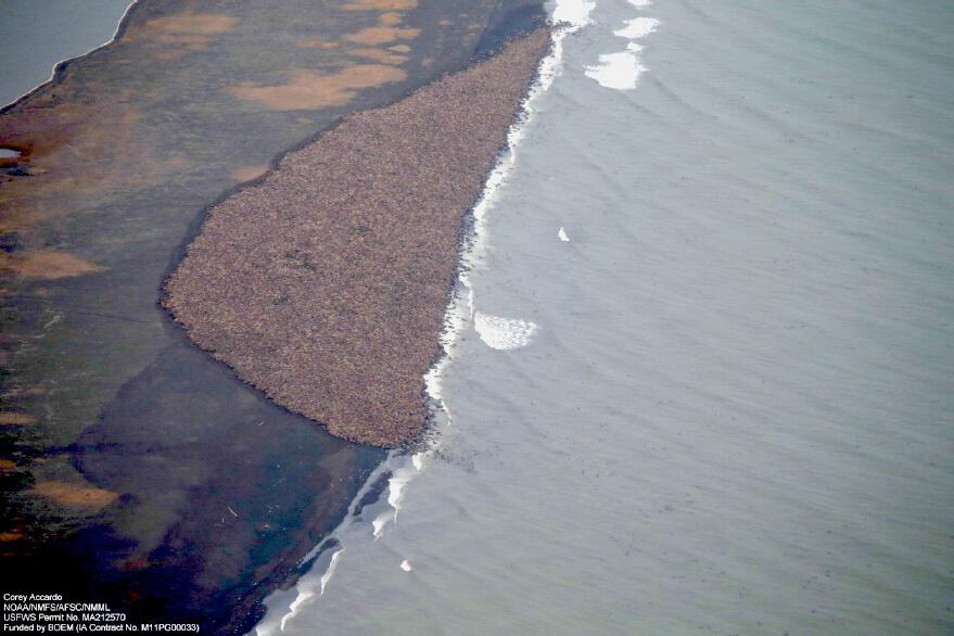 Animals adapt, walruses on beach, NOAA