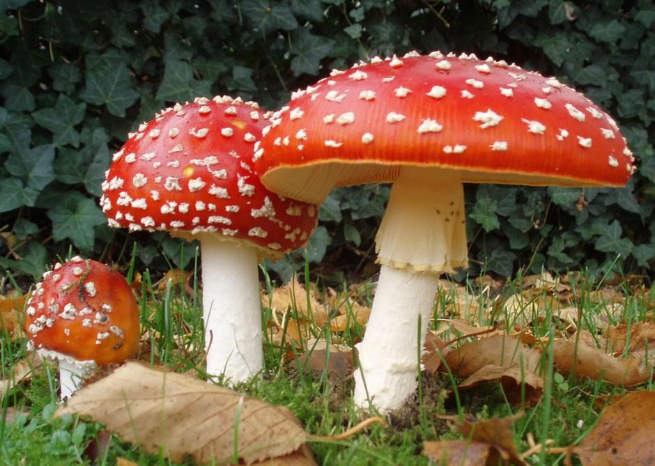 The mushroom Amanita muscaria in three stages of growth [Author: Amanita_muscaria_3_vliegenzwammen_op_rij.jpg: Onderwijsgek; derivative work: Ak ccm]