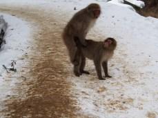 Macaques doin' it. Jigokudani, Japan
