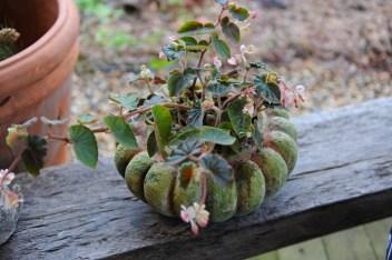 mandarina-begonia