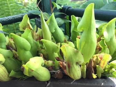 snugharbor-green-ladyslipper