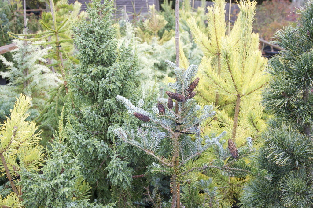 conifer-mix