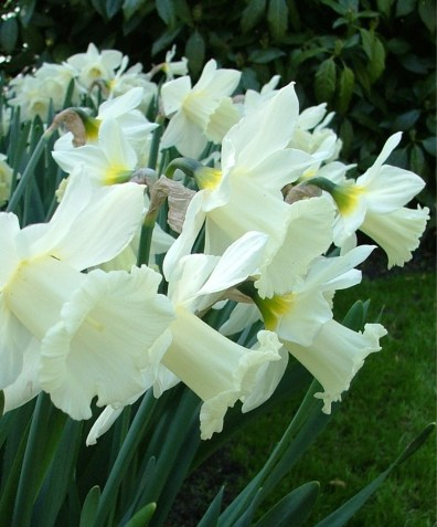 narcissus-mount-hood-blossoms