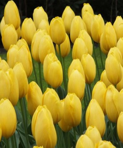 tulip-big-smile-2