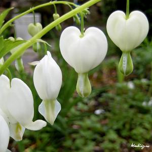 bleeding-heart-plant3.jpg