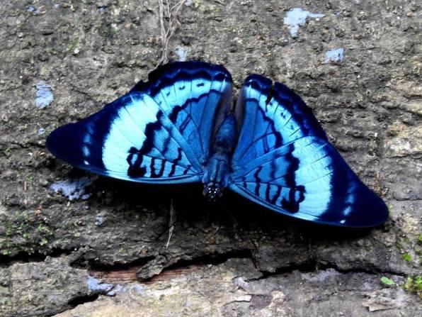 blue-bordered panacea