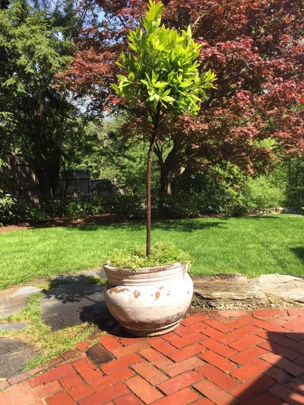 sweet bay standard english thyme underplanting