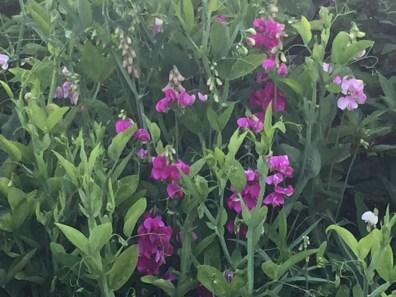 primo-rockport maine-garden