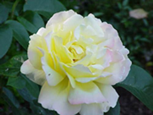 peace-rose-rose