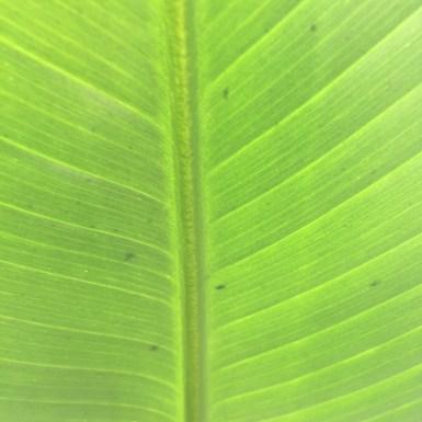 big bright leaf