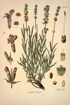 c-304-lavender-a-bit-of-botany