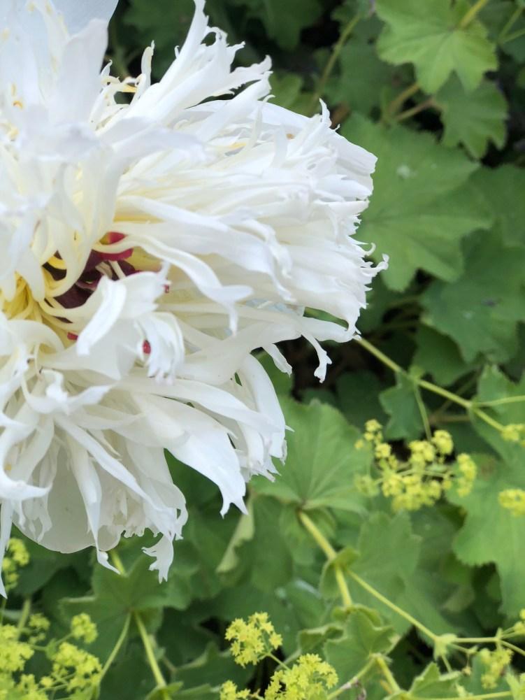 whitehall-peonies on the wane