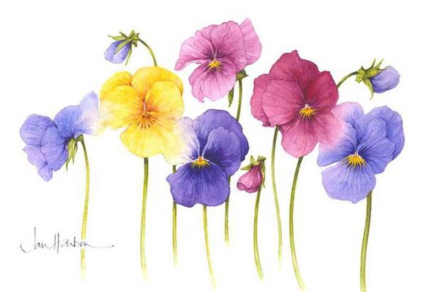 Ilustraciones de flores Jan Harbon