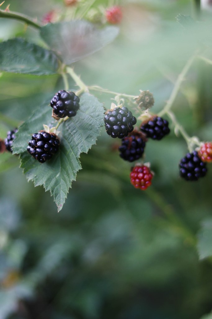 Close up photograph of blackberries in a bush