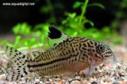 315_Leopard_Cory_Corydoras_trilineatus.e